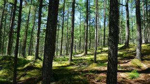 W Polsce może zabraknąć drzew, na przykład sosen. I to już niedługo