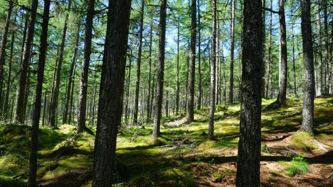 W Polsce może zabraknąć części drzew, na przykład sosen. I to już niedługo