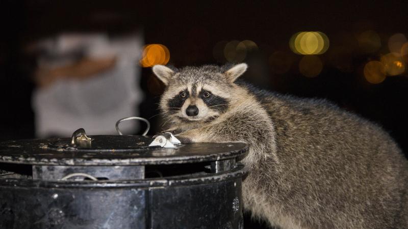 Szopy jedzenia szukają w śmietnikach