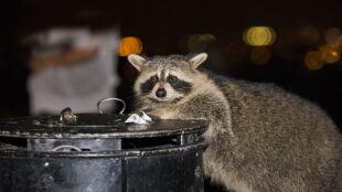 """Szopy pracze kontra Toronto. Jak """"śmieciowe pandy"""" podbiły miasto"""