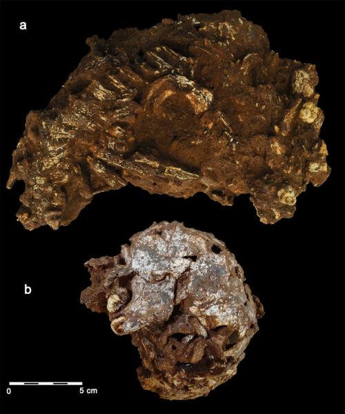 Fragmenty czaszki i żuchwy Mtoto (Martinón-Torres, et al., 2021)