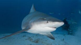 Zaatakował go rekin. Na pomoc mężowi ruszyła ciężarna żona